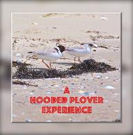 A Hooded Plover Experience - available from Lulu.com